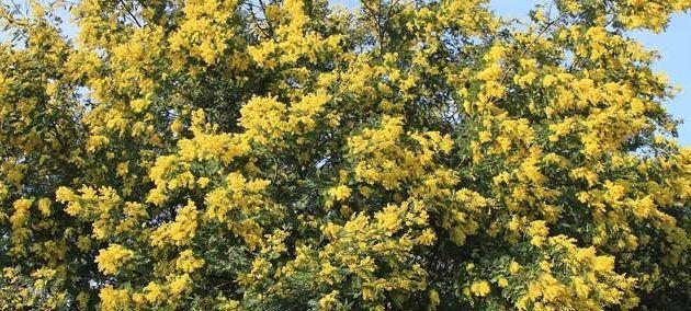Route du mimosa : une découverte entre couleurs et parfums