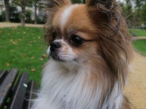 Il est adopté !!! : TITO, Chihuahua à poil long mâle castré - 5 ans