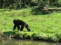 Les 10 chimpanzés recueillis dans la vallée des singes proviennent d'un laboratoire de recherche biomédicale hollandais … L'expérience sur les grands singes étant désormais interdite en Hollande, ce laboratoire a pu replacer ses spécimens dans des parcs comme celui-ci où ces primates retrouvent une vie normale et protégée