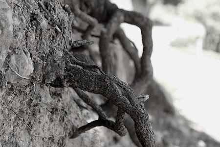 Les cèdres participent à limiter les glissements de terrains. Il mêlent littéralement leurs racines à la roche...  Vous verrez aussi quelques beautés minérales dans cet album