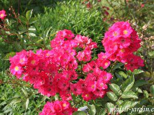 Le rosier 'Jeannette et Paul'