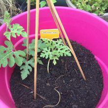Semis de pépin de pastèque, premier essai