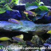 Labidochromis-sp-hongi-