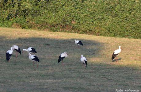 Les cigognes se plaisent à Civray ...suite ...
