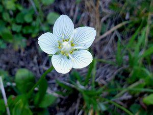 Quelques fleurs de la montée : Parnassie des marais, Scabieuse luisante, Saxifrage des ruisseaux ou faux-Aïzoon, Saxifrage sillonnée.