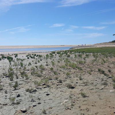 Salicorne dans l'estuaire du Payré à Tamont Saint Hilaire