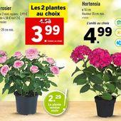 Lidl : lot de 2 mini rosiers pas cher à 3,99 €