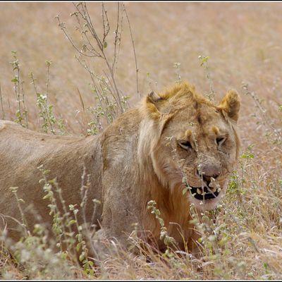 Video de notre 1er jour dans le Serengeti