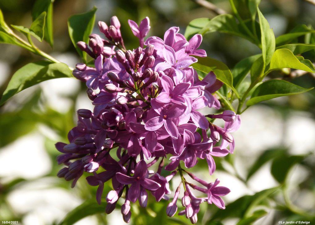 Lilas 'Saugeana' ou lilas de Rouen -Syringa x chinensis 'Saugeana'