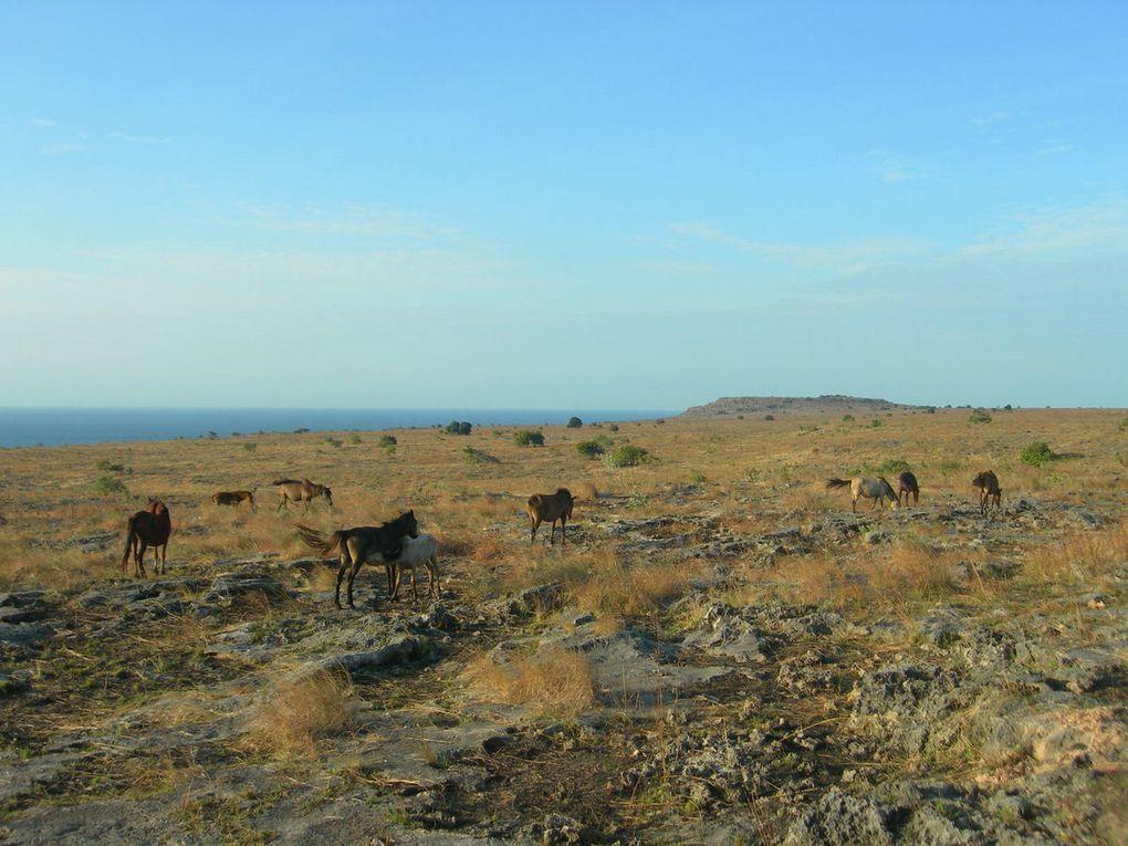 C'est la passion des habitants de Sumba, des courses ( à cru ) ont lieu quotidiennement avec des paris et beaucoup de chutes sur la piste; en pleine savane, on marchande le prix des chevaux ( photo 3 ) en liberté.