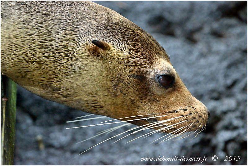 Contrairement au phoque, l'otarie possède des pavillons auditifs externes (elle a des oreilles visibles)