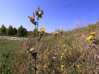 Picride et chicorée; des fleurs à ne pas couper en ce moment car elles sont en pleine floraison sur le parc.