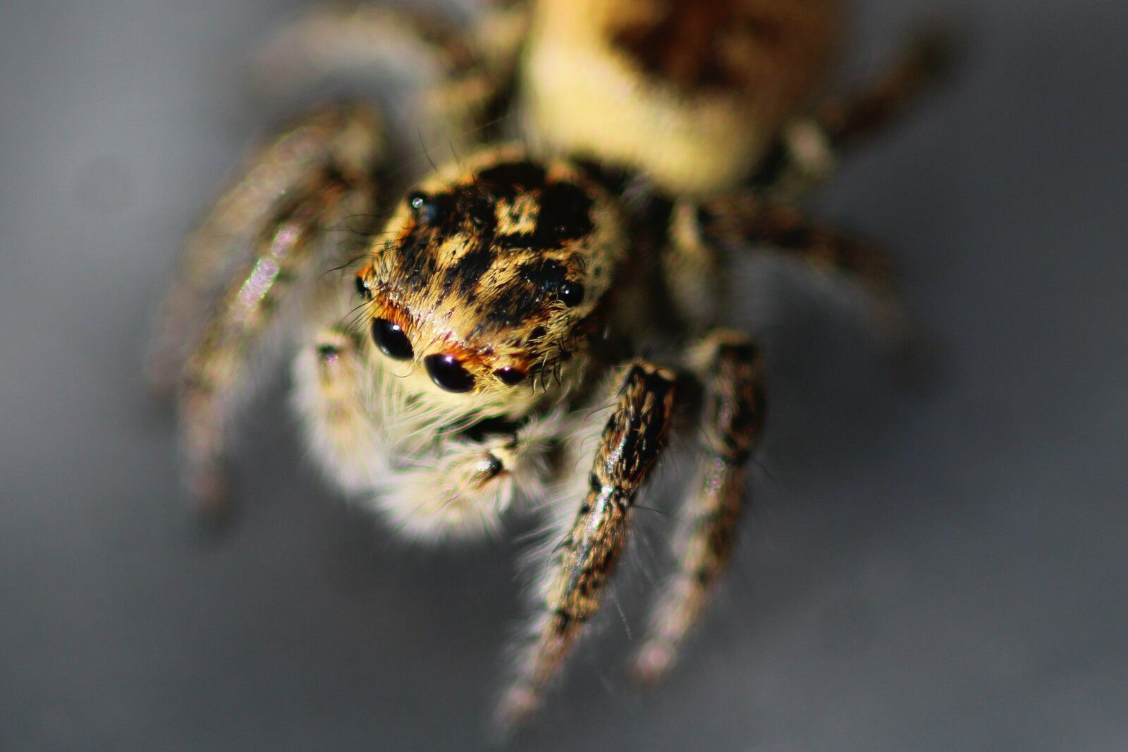 femelle de carrhotus xanthogramma