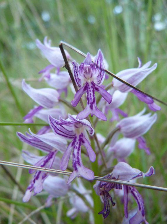 Découvertes de rares orchidées à Gajan... ou l'éloge du confinement
