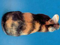 1ère photo - Source : http://www.ffc.asso.fr/races_lapins/moyen_japonais.htm