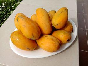 La saison de toutes les mangues - Fruits de saison (20-09)