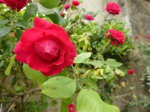 Deux rosiers rouge plus classiques...dont un est grimpant