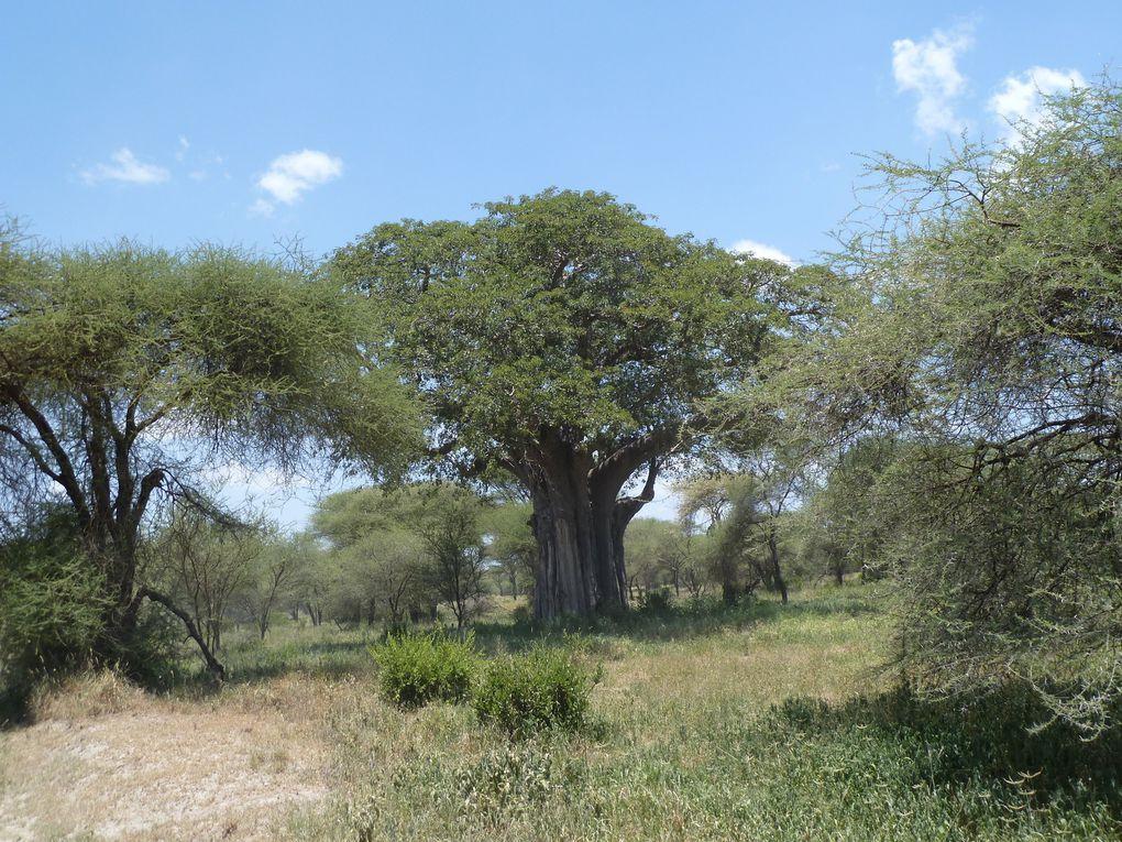 Tanzanie - Le parc National de Tarangire.