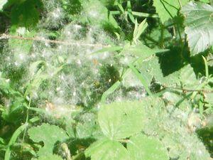 """Sur la """"Route du Breton"""", les trucs de pissenlits.  L'unique aigrette qui restait ce 24 mai sur la pelouse d'Annick."""