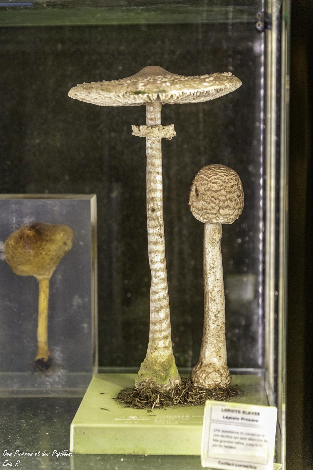 Quelques exemples de champignons présentés dans des vitrines.