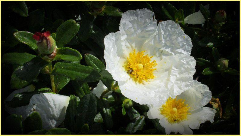 """"""" Fleurs du Portugal  """""""