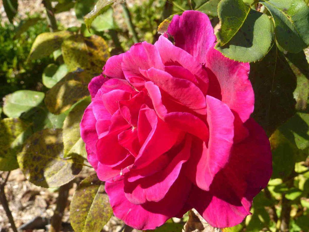 L'allée du Clos Saint-Gilles et quelques roses