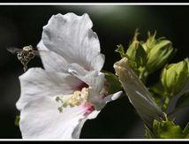 Roses trémiére et abeilles ....