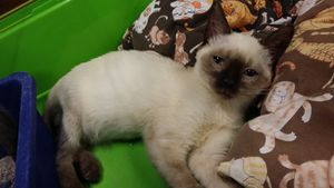 Lessi, chaton femelle, à l'adoption -> adoptée