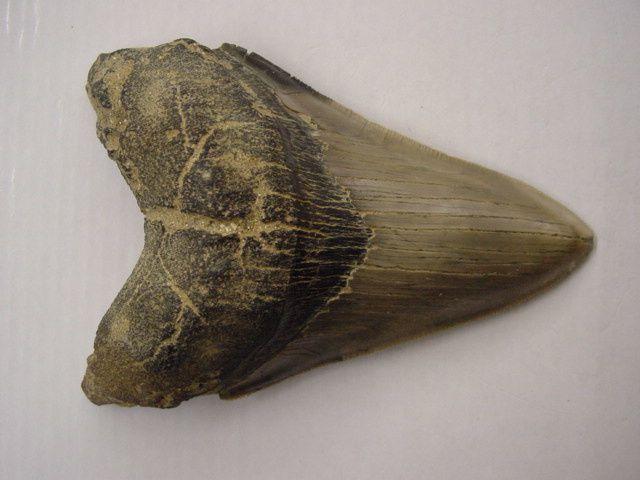 <p>Album faunistique de la région de Boom, Belgique.</p> <p>Les pièces sont datées de l'Oligocène au Quaternaire.</p> <p>Elles appartiennent toutes à ma collection personnelle.</p> <p>Phil « Fossil »</p>