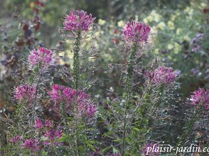 La Cleome spinosa 'Cherry Queen'
