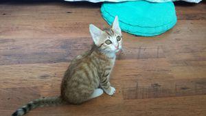Lichen, chaton mâle roux, à l'adoption -> adopté