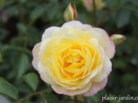 Blushed yellow  -  Wow factor  -  Xanda