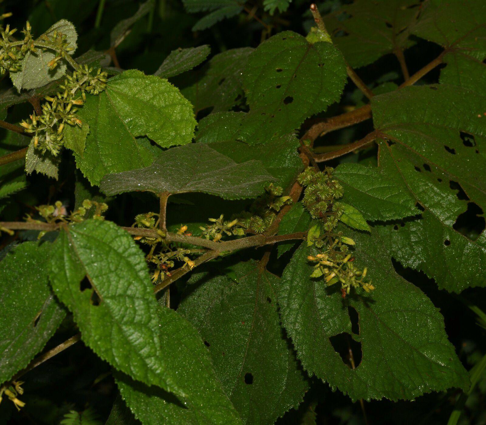 Triumfetta althaeoides