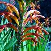 Die Rachenlilie