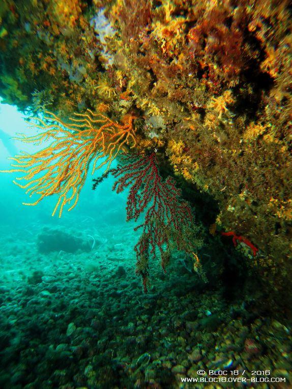 Plongée dans les gorgones