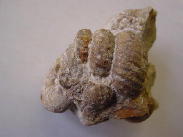 """<p></p> <p>L'un des groupes """"chouchou"""" des collectionneurs, les ammonites hétéromorphes ou déroulées possèdent des représentants depuis le Jurassique moyen.</p> <p>Tous les spécimens présentés appartiennent à ma collection personnelle.</p> <p>Bon amusement !</p> <p>Phil """"Fossil""""</p> <p></p>"""