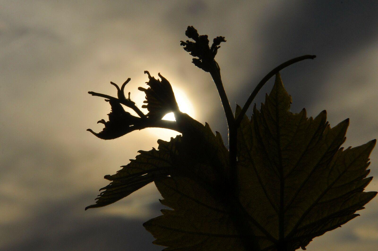 La vigne à rendez-vous avec le soleil.