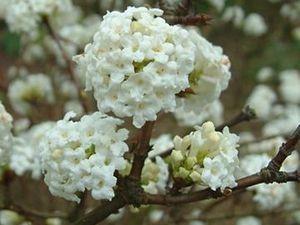 Viburnum dentatum ' Blue Muffin'- Viburnum bracteatum - Viburnum tinus 'Macrophyllum' - Viburnum x bodnantense 'Charles Lamont' - Viburnum farreri 'Candidissimum'