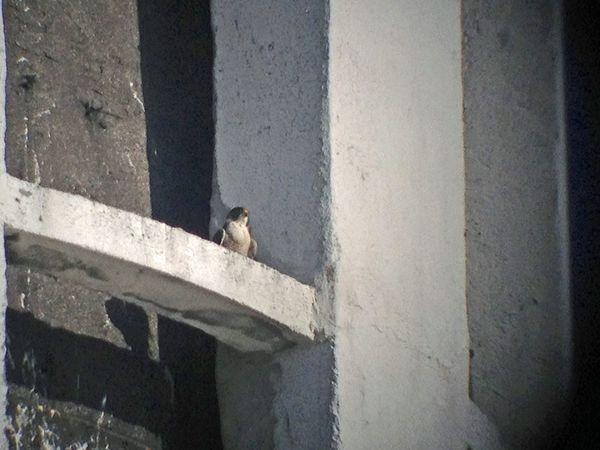 http://fauconline.blogspot.fr/