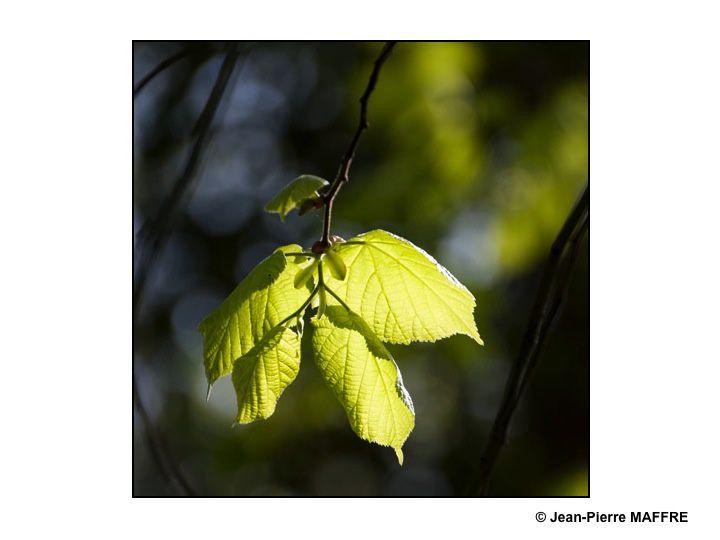 Le printemps est la saison de la renaissance de la nature dans la fragilité de ses couleurs translucides, pâles et mordorées.