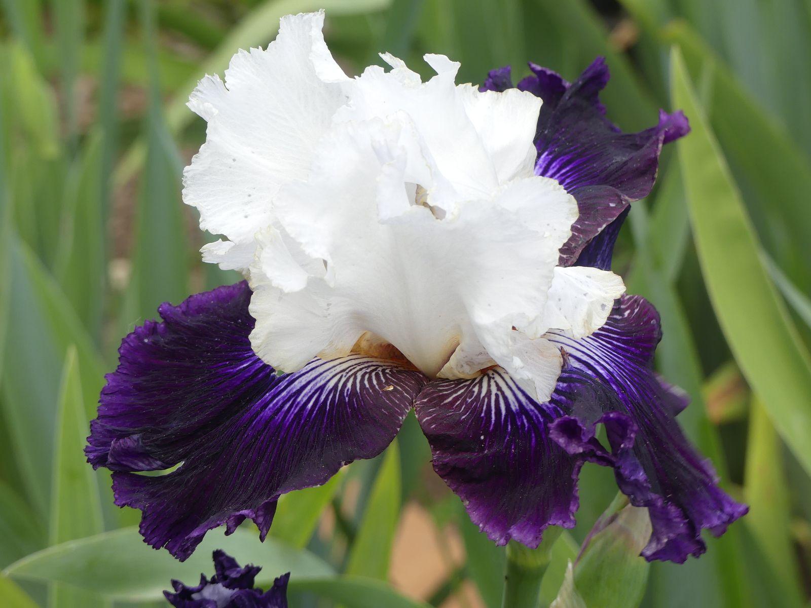 Beaucoup, beaucoup d'iris en fleurs au jardin du barry .