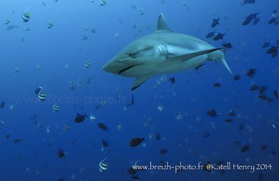 Requins aux Maldives
