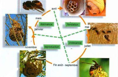 Cycle du frelon asiatique et piègeage