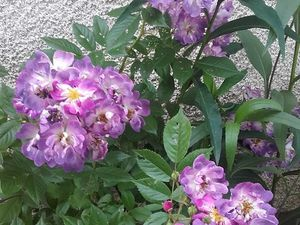 Purple Eden - Pacific Dream - Cardinal de Richelieu - Veilchenblau - Falstaff