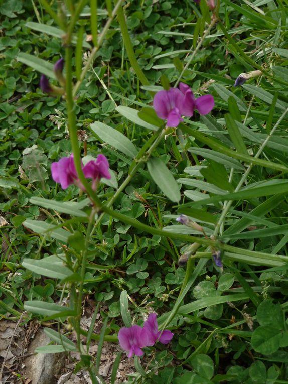 Les fleurs de nos montagnes au printemps, petites ou grandes, elles ont toutes leur charme et leur beauté.