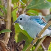 Tangara évêque - Thraupis episcopus - Blue-grey Tanager