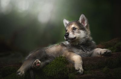 Animaux - Loup - Forêt - Nature - Photographie - Wallpaper - Free