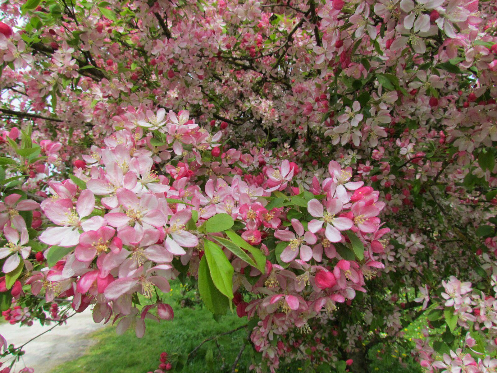 Jour de la Terre: la nature s'éveille, pommiers sauvages en fleurs dans la Pâture (Région)