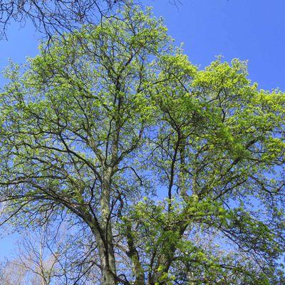 Erable plane (Acer platanoides)