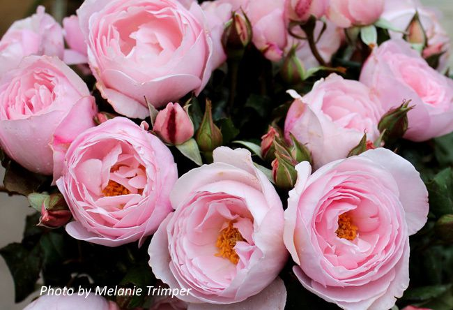 photos Rose Society of South Australia  rose du mois 08 2018 Nahema